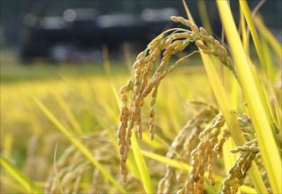 ミルキークイーンの定期購入・年間予約をお考えなら、白米・玄米を取り扱う栄屋ファーム
