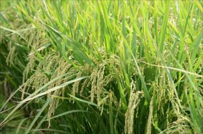お米が贈答用として人気の理由