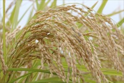 ミルキークイーンの産地直送は栄屋ファームへ!白米・玄米から選べます